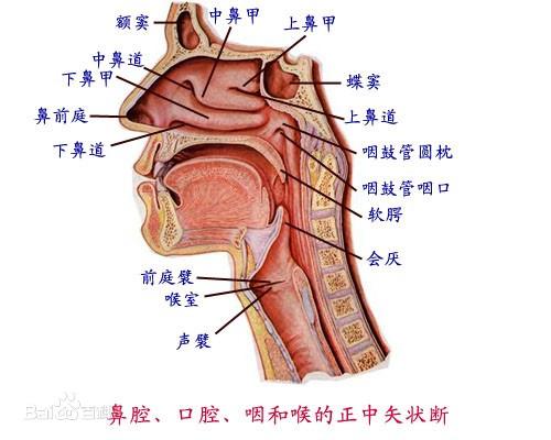 正常的咽喉你知道长什么样吗? 正常的咽喉你知道长什么样吗? 扁桃体相关问题